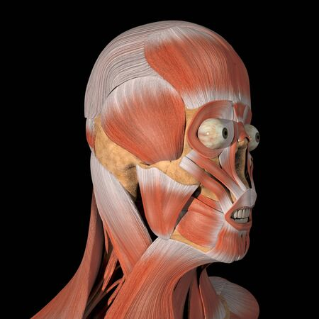 This is a 3d illustration of the facial muscles side view