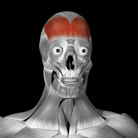 This is a 3d illustration of the Frontalis muscle