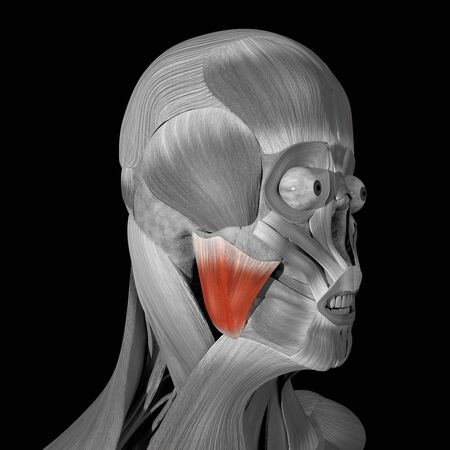 This is a 3d illustration of the masseter muscles