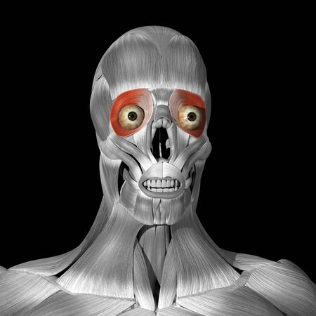 This is a 3d illustration of the Orbicularis oculi muscles