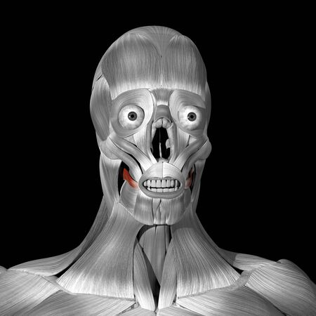 This is a 3d illustration of the risorius muscles