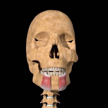 This is a 3d illustration of the depressor anguli oris muscles on skeleton