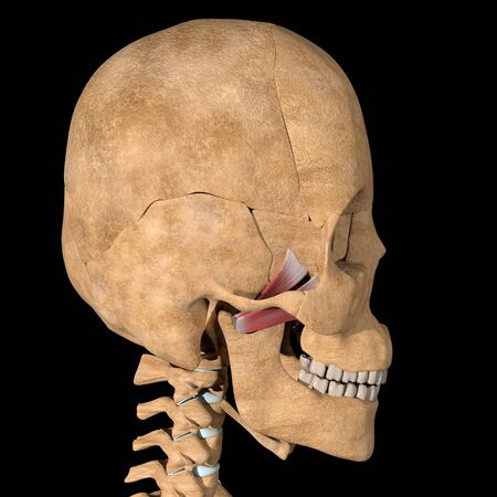 This is a 3d illustration of the lateral pterygoid muscles on skeleton Stockfoto