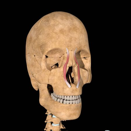 This is a 3d illustration of the levator labii superioris alaeque nasi muscles
