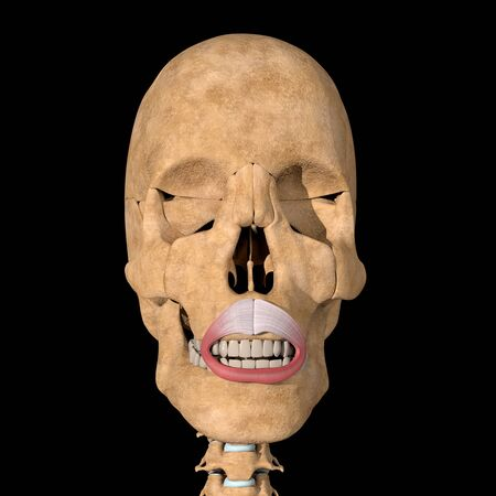 This is a 3d illustration of the orbicularis oris muscle