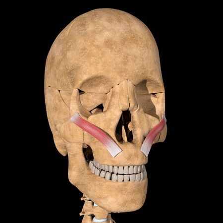 This is a 3d illustration of the zigomaticus minor muscles on skeleton