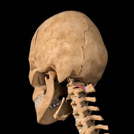 This 3d illustration shows the obliquus capitis inferior muscles on skeleton Stockfoto
