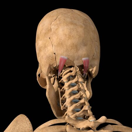 This 3d illustration shows the obliquus capitis superior muscles on skeleton