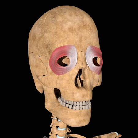 This is a 3d illustration of the orbicularis oculi muscles position