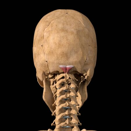 This 3d illustration shows the rectus capitis minor muscles on skeleton Stockfoto