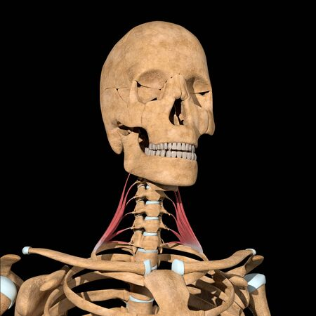 This 3d illustration shows the scalene medius muscles on skeleton