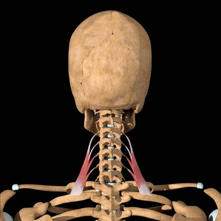 This 3d illustration shows the scalene posterior muscles on skeleton
