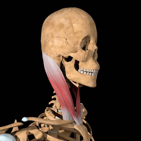 This 3d illustration shows the sternocleidomastoid muscles on skeleton