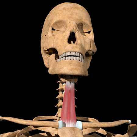 This 3d illustration shows the sternohyoid muscles on skeleton Stockfoto