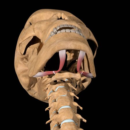 This 3d illustration shows the digastric muscles on skeleton Stockfoto