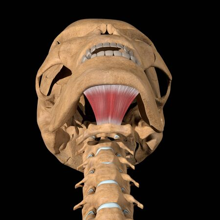 This 3d illustration shows the mylohyoid muscles on skeleton