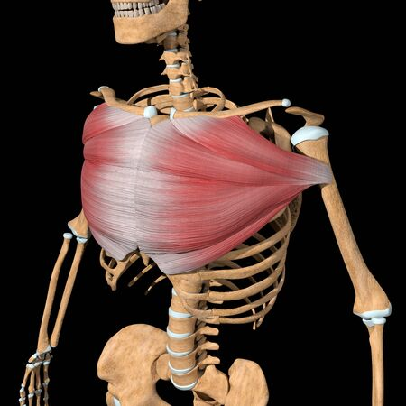 This 3d illustration shows the pectoralis major muscles on skeleton Stockfoto