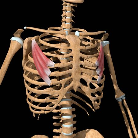 This 3d illustration shows the pectoralis minor muscles on skeleton