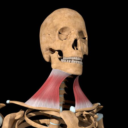 This 3d illustration shows the platysma muscles on skeleton
