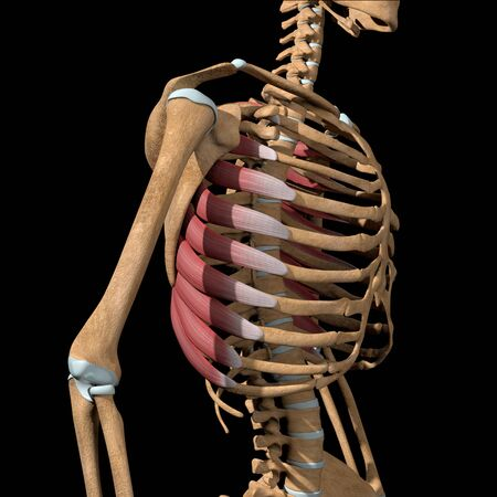 This 3d illustration shows the serratus anterior muscles on skeleton