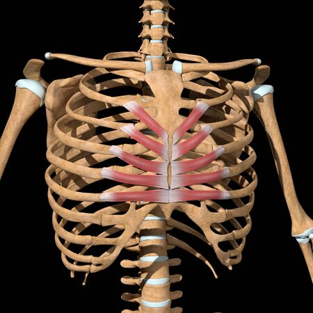 This 3d illustration shows the transversus thoracis muscles on skeleton