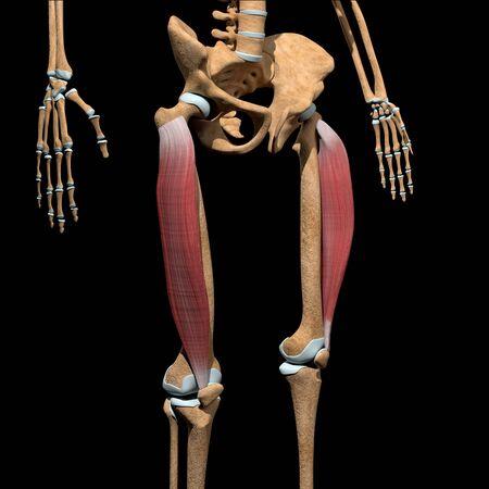 This 3d illustration shows the vastus lateralis muscles on skeleton Stockfoto