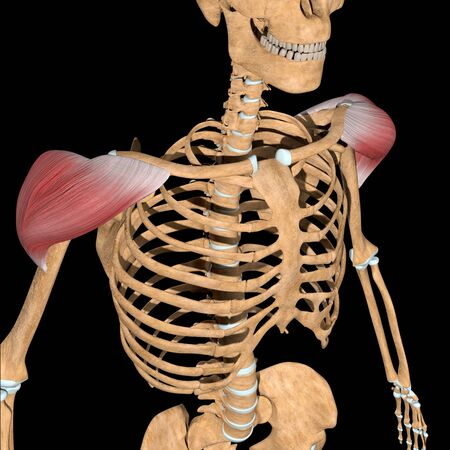 This 3d illustration shows the deltoid muscles on skeleton