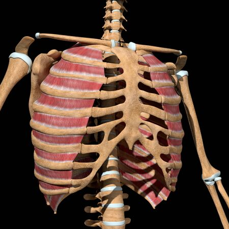This 3d illustration shows the external intercostal muscles on skeleton