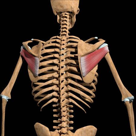 This 3d illustration shows the infraspinatus muscles on skeleton