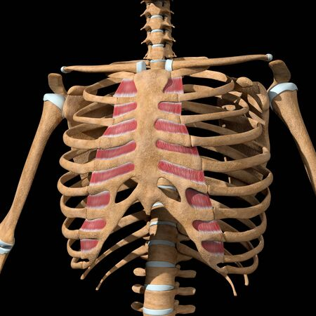 This 3d illustration shows the internal intercostal muscles on skeleton Stockfoto