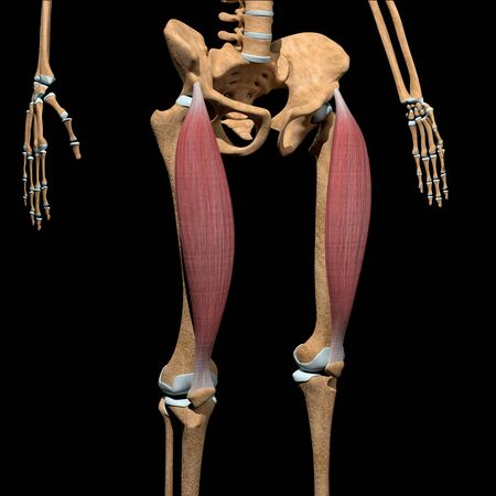 This 3d illustration shows the rectus femoris muscles on skeleton