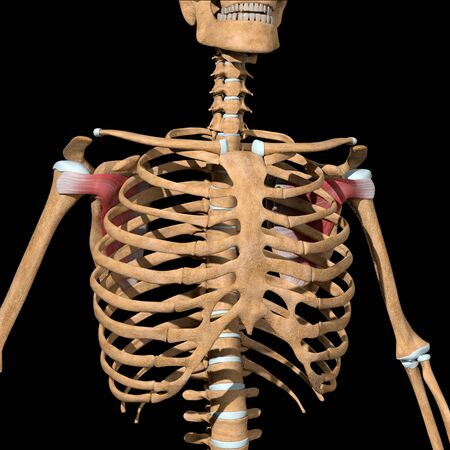 This 3d illustration shows the subscapularis muscles on skeleton