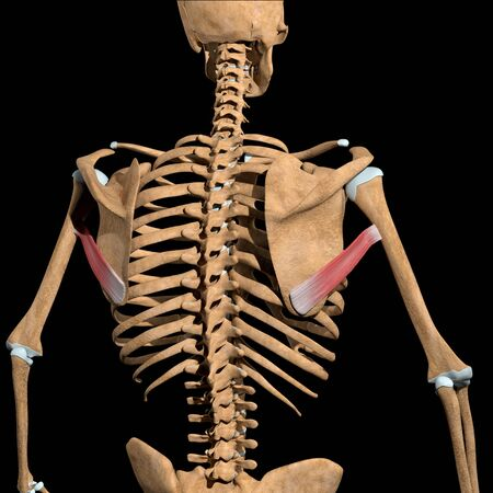 This 3d illustration shows the teres major muscles on skeleton