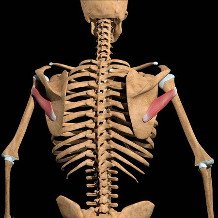 This 3d illustration shows the teres minor muscles on skeleton Stockfoto