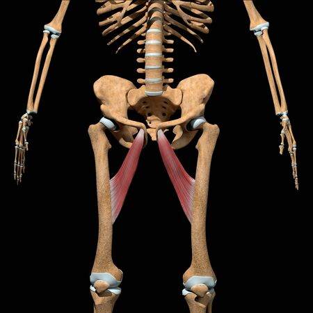 This 3d illustration shows the adductor longus muscles on skeleton