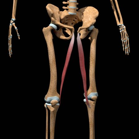This 3d illustration shows the gracilis muscles on skeleton