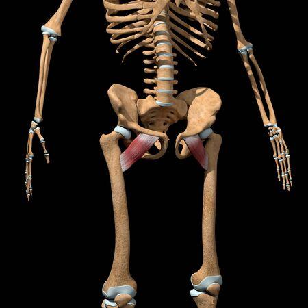 This 3d illustration shows the pectineus muscles on skeleton Stockfoto