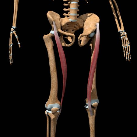 This 3d illustration shows the sartorius muscles on skeleton