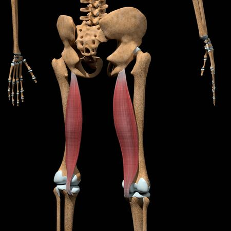 This 3d illustration shows the semimembranosus muscles on skeleton
