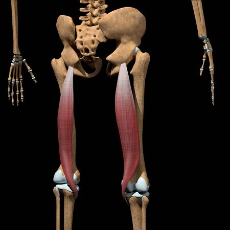 This 3d illustration shows the semitendinosus muscles on skeleton Stockfoto