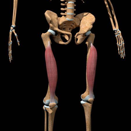 This 3d illustration shows the vastus intermedius muscles on skeleton