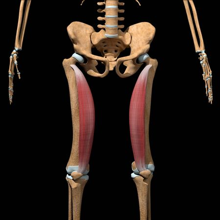 This 3d illustration shows the vastus medialis muscles on skeleton