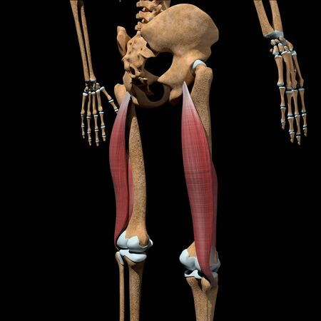 This 3d illustration shows the biceps femoris muscles on skeleton