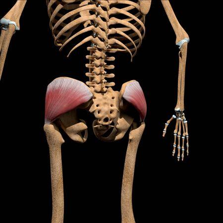 This 3d illustration shows the gluteus medius muscles on skeleton Stockfoto