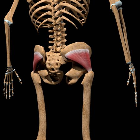 This 3d illustration shows the gluteus minimus muscles on skeleton