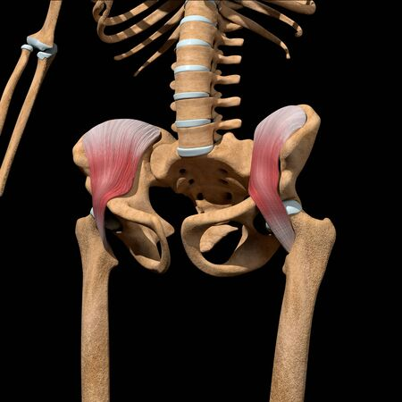 This 3d illustration shows the iliacus muscles on skeleton