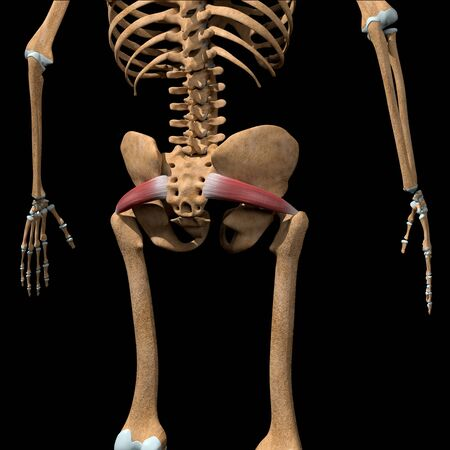 This 3d illustration shows the piriformis muscles on skeleton