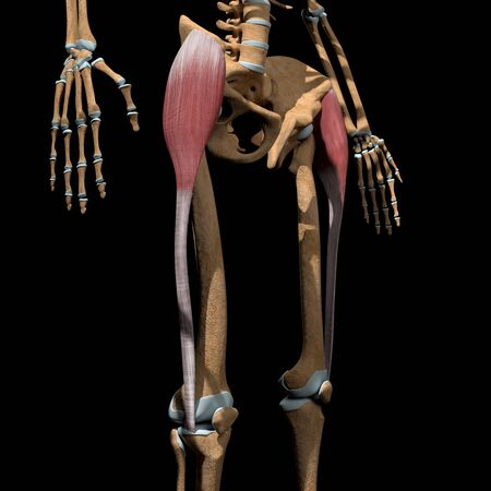 This 3d illustration shows the tensor fasciae latae muscles on skeleton