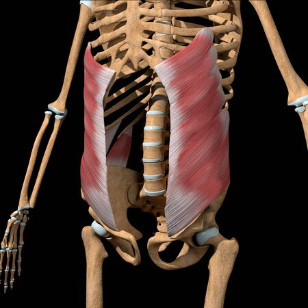 This 3d illustration shows the abdominal external oblique muscles on skeleton