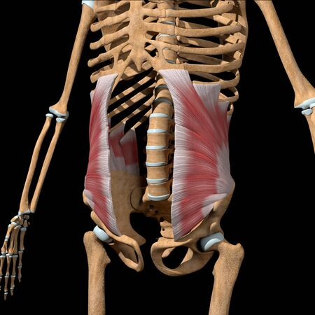 This 3d illustration shows the abdominal internal oblique muscles on skeleton